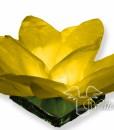 waterlelie geel waterlantaarn